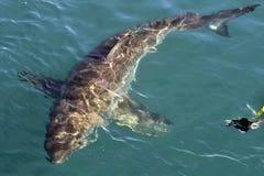 Κολυμπώντας σφραγίδα Σφραγίδα γουνών ακρωτηρίων (pusilus Arctocephalus) Στοκ εικόνες με δικαίωμα ελεύθερης χρήσης