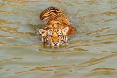 Κολυμπώντας τίγρη Στοκ Εικόνες