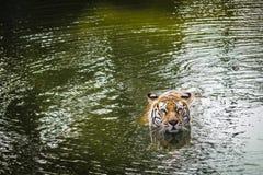 Κολυμπώντας τίγρη Sumatran Στοκ Φωτογραφίες