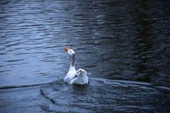 Κολυμπώντας χήνα Στοκ Εικόνες