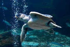 κολυμπώντας χελώνα υποβρύχια Στοκ Εικόνες