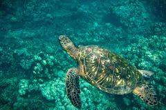Κολυμπώντας χελώνα Στοκ Φωτογραφίες