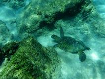 Κολυμπώντας χελώνα Στοκ φωτογραφίες με δικαίωμα ελεύθερης χρήσης