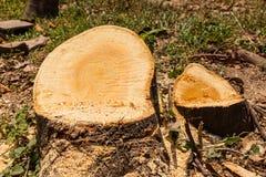 Κολόβωμα δέντρων Στοκ Εικόνες