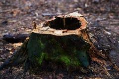Κολόβωμα με μια τρύπα, σάπιος, στεμένος σε ένα πάρκο ή σε ένα δάσος με τα δέντρα πεύκων Στοκ φωτογραφία με δικαίωμα ελεύθερης χρήσης