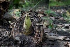 Κολόβωμα μπανανών στοκ φωτογραφία