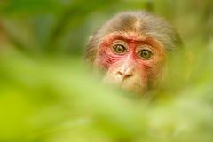 Κολόβωμα-παρακολουθημένος macaque με ένα κόκκινο πρόσωπο στην πράσινη ζούγκλα Στοκ εικόνες με δικαίωμα ελεύθερης χρήσης