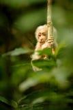 Κολόβωμα-παρακολουθημένος macaque με ένα κόκκινο πρόσωπο στην πράσινη ζούγκλα Στοκ εικόνα με δικαίωμα ελεύθερης χρήσης