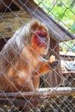 Κολόβωμα-παρακολουθημένος macaque στο κλουβί Στοκ φωτογραφία με δικαίωμα ελεύθερης χρήσης