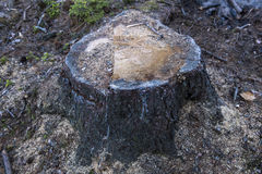 Κολόβωμα σε ένα βαθύ δάσος Στοκ Εικόνες