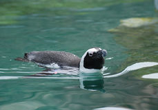 Κολύμβηση αφρικανικό Penguin που κολυμπά σε ένα σώμα aqua του νερού Στοκ Εικόνες