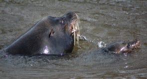 Κολύμβηση λιονταριών θάλασσας Καλιφόρνιας Στοκ φωτογραφίες με δικαίωμα ελεύθερης χρήσης