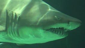 Κολύμβηση καρχαριών υποβρύχια με τα αιχμηρά δόντια και τα βράγχια απόθεμα βίντεο