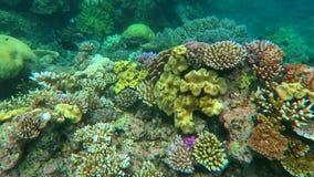 Κολύμβηση με αναπνευστήρα σε μια κοραλλιογενή ύφαλο στη θάλασσα κοραλλιών στο μεγάλο σκόπελο εμποδίων Queensland Αυστραλία απόθεμα βίντεο