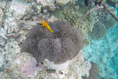 Κολύμβηση με αναπνευστήρα των Μαλδίβες Στοκ Φωτογραφία