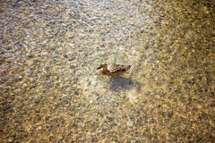 Κολύμβηση παπιών στοκ φωτογραφία με δικαίωμα ελεύθερης χρήσης