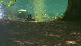 Κολύμβηση παπιών Στοκ φωτογραφίες με δικαίωμα ελεύθερης χρήσης