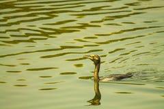 Κολύμβηση πουλιών κορμοράνων Στοκ εικόνα με δικαίωμα ελεύθερης χρήσης
