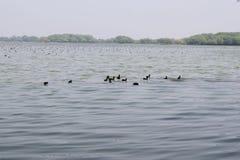 κολύμβηση πουλιών Στοκ εικόνα με δικαίωμα ελεύθερης χρήσης