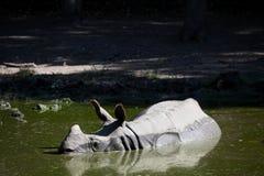 Κολύμβηση ρινοκέρων Στοκ Φωτογραφία