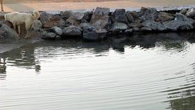 κολύμβηση σκυλιών απόθεμα βίντεο