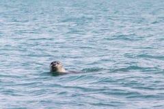 Κολύμβηση σφραγίδων, που εξετάζει τη κάμερα με μια προσοχή ιδιαίτερη κατά το ήμισυ Στοκ εικόνα με δικαίωμα ελεύθερης χρήσης