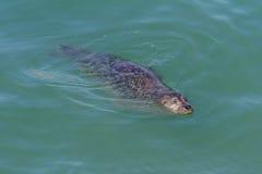 Κολύμβηση σφραγίδων Στοκ εικόνες με δικαίωμα ελεύθερης χρήσης