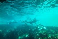 Κολύμβηση τεσσάρων δελφινιών Στοκ Εικόνες