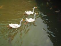 Κολύμβηση τριών άσπρη χήνων Στοκ Φωτογραφίες