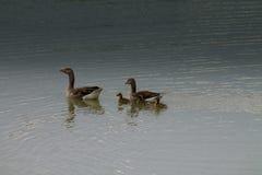 Κολύμβηση χήνων Στοκ φωτογραφία με δικαίωμα ελεύθερης χρήσης