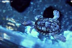 Κολύμβηση χελωνών Στοκ εικόνα με δικαίωμα ελεύθερης χρήσης