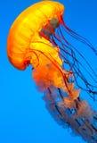 Κολύμβηση ψαριών ζελατίνας Στοκ φωτογραφία με δικαίωμα ελεύθερης χρήσης
