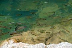 Κολύμβηση ψαριών Στοκ Εικόνα