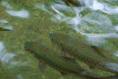 Κολύμβηση ψαριών Στοκ εικόνα με δικαίωμα ελεύθερης χρήσης