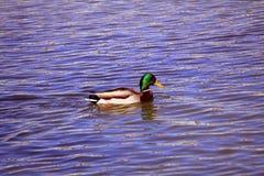 Κολύμβηση Dunk Στοκ φωτογραφία με δικαίωμα ελεύθερης χρήσης