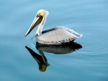 Κολύμβηση Pellican Στοκ εικόνες με δικαίωμα ελεύθερης χρήσης
