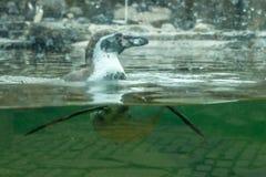 Κολύμβηση Penguin Στοκ Εικόνες