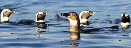 Κολύμβηση penguins Στοκ φωτογραφίες με δικαίωμα ελεύθερης χρήσης