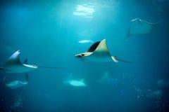 Κολύμβηση Stingray στοκ φωτογραφία με δικαίωμα ελεύθερης χρήσης