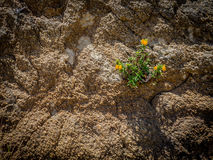 Κολλώδης ανάπτυξη πιθήκων από το πρόσωπο βράχου Στοκ Εικόνες