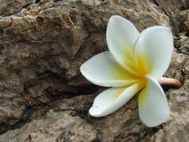 Κράσπεδο Plumeria στοκ εικόνα
