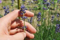 Κράτημα ενός Lavender λουλουδιού Στοκ Εικόνες