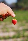 Κράτημα μιας ώριμης φράουλας Στοκ φωτογραφία με δικαίωμα ελεύθερης χρήσης
