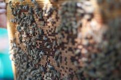 Κράτηση μελισσών μελιού Στοκ φωτογραφία με δικαίωμα ελεύθερης χρήσης