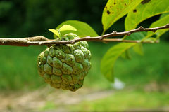 κρέμα μήλων πράσινη Στοκ εικόνες με δικαίωμα ελεύθερης χρήσης