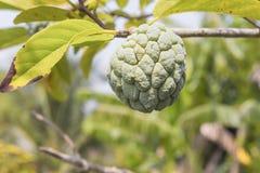 Κρέμα Apple Κλείστε επάνω την ακατέργαστη γεωργία μήλων κρέμας στα δέντρα Στοκ εικόνα με δικαίωμα ελεύθερης χρήσης