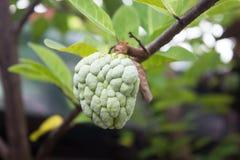 Κρέμα Apple στο δέντρο Στοκ Εικόνες