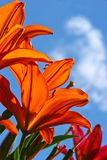 κρίνοι κήπων Στοκ φωτογραφία με δικαίωμα ελεύθερης χρήσης