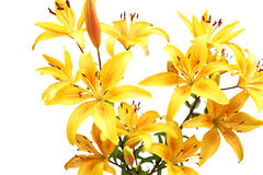 κρίνοι κίτρινοι Στοκ φωτογραφίες με δικαίωμα ελεύθερης χρήσης