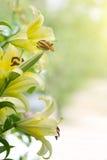 κρίνοι κίτρινοι Στοκ φωτογραφία με δικαίωμα ελεύθερης χρήσης